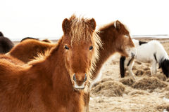 Portrait of an Icelandic pony with a brown mane Stock Photography