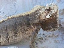 Portrait of Iguana Stock Photos