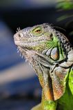 Portrait of iguana Royalty Free Stock Photography