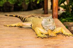 Portrait of an iguana Stock Photo