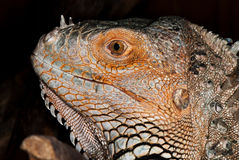 Portrait of iguana Royalty Free Stock Photo