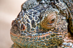 Portrait of Iguana Stock Images