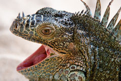 Portrait of Iguana Stock Image