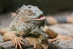 Portrait of iguana