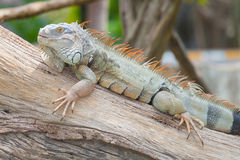 The portrait of Iguana Royalty Free Stock Images