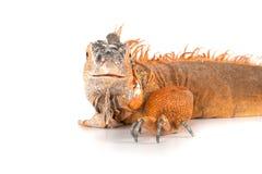 Portrait of iguana close-up. Stock Images