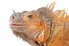 Portrait of iguana close-up. Stock Photography