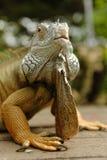 Portrait of an iguana Stock Photo