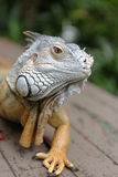 Portrait of an iguana Royalty Free Stock Photo