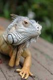Portrait of an iguana royalty free stock photo