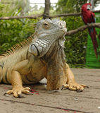 Portrait of an iguana Stock Photos