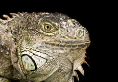 Portrait of an Iguana on a dark background Stock Image
