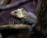 Portrait of an Iguana Stock Images