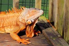 Portrait of iguana, Florida Stock Photo