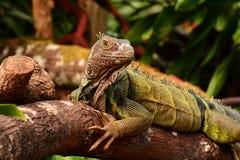Portrait of an Iguana Stock Photos