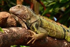Portrait of an Iguana Stock Images