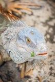 The portrait of Iguana Head Royalty Free Stock Photos