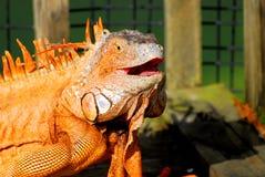 Portrait of iguana laughing, Florida Royalty Free Stock Images