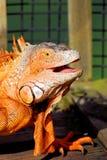 Portrait of iguana laughing Stock Image