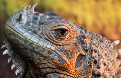 Portrait of iguana lizard Royalty Free Stock Photos
