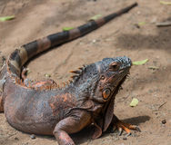 Portrait of an iguana lizard in nature Stock Photography