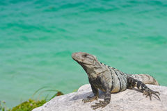 Portrait of an iguana resting above the ocean Royalty Free Stock Images
