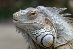 Portrait of an iguana royalty free stock photos