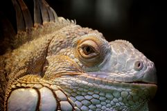 Portrait of Iguana. In the spotlight, on black background. Zoo park - Vienna, Austria stock images