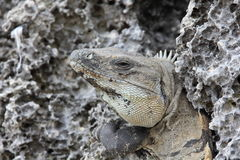 Portrait Of An Iguana Stock Photography