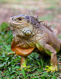 Portrait of iguana in the wild Royalty Free Stock Photo