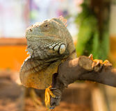 Portrait of an iguana in a zoo Stock Images