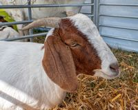 Boer Goat Portrait, Hanbury Countryside Show, Worcestershire, England. A portrait image of a Boer Goat. The Boer goats originate from South Africa and these royalty free stock photography