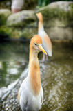 Portrait image of cattle egret (Bubulcus ibis) bird standing near the pond. Blurred and selective focus portrait image of cattle egret (Bubulcus royalty free stock photo