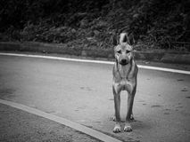 Portrait image of starveling dog. Appeal a signal 'Do you have some food for me?' from this eyes. Stray dog. Black and white tone Royalty Free Stock Photography
