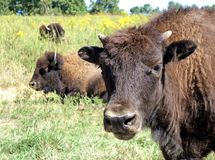 Young American Bison Stock Photo