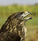 A portrait of an immature common buzzard / Buteo buteo Stock Photo