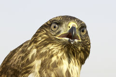 A portrait of an immature common buzzard / Buteo buteo Royalty Free Stock Photos