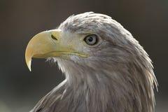 Portrait impérial d'aigle tout en situant sur une perche éclairé à contre-jour par le coucher de soleil pendant l'après-midi photos libres de droits