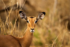 Portrait of impala Stock Image