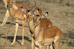 Portrait of impala aligned looking at humans in the savann. A -south africa Royalty Free Stock Image