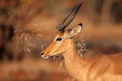 Impala antelope portrait Stock Photos