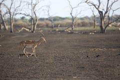 Portrait of impala antelope Royalty Free Stock Images