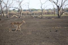 Portrait of impala antelope Stock Photography
