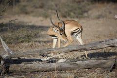 Portrait of impala antelope Stock Image