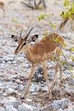 Portrait of Impala antelope Stock Images