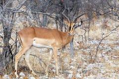 Portrait of Impala antelope Royalty Free Stock Photos