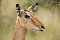 Portrait of an impala ewe Stock Image