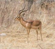 Impala Ram. Portrait of an Impala ram in Namibian savanna Royalty Free Stock Photo