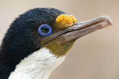 Portrait of an Imperial Cormorant Royalty Free Stock Photo