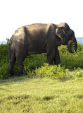 Portrait of an indian elephant eating grass Stock Photo